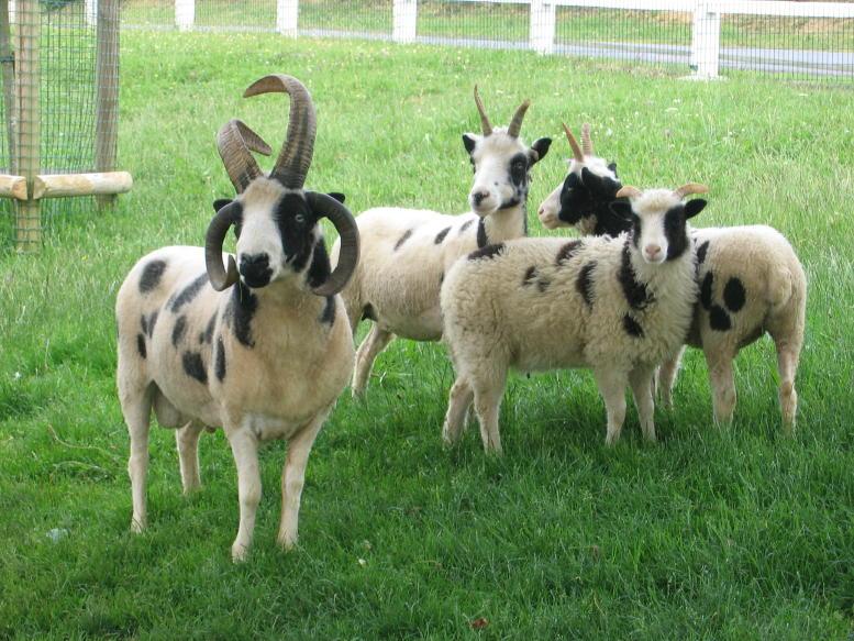 Thônes et Marthod et moutons de jacob Moutons12d062d08
